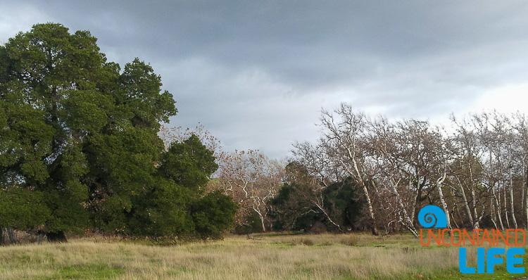 Sycamore Grove Oak Tree Livermore, California, Uncontained Life