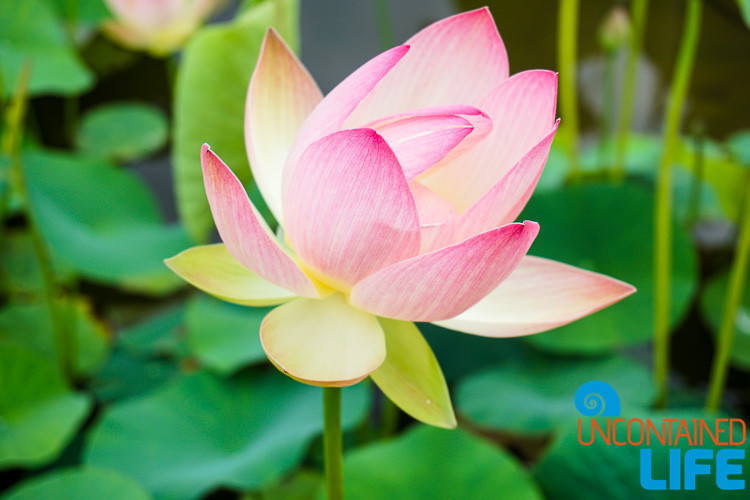Lotus in Bloom, Off the Beaten Path in South Korea, Uncontained Life