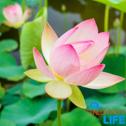 Lotus Flower South Korea Uncontained Life