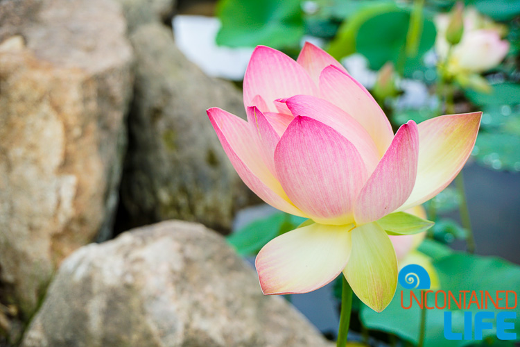 Blooming Lotus Rocks South Korea, journeys, destinations, Uncontained Life