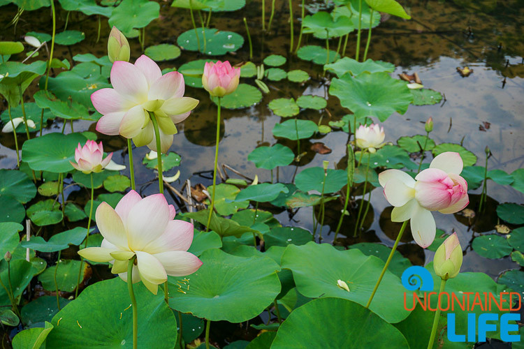 Lotus Flowers and Lily Pads
