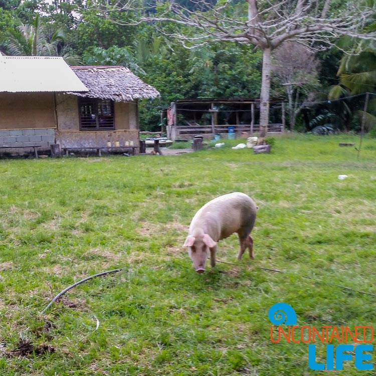 Local Pig, Mangrove Resort in Langogan, Palawan, Philippines, Uncontained Life
