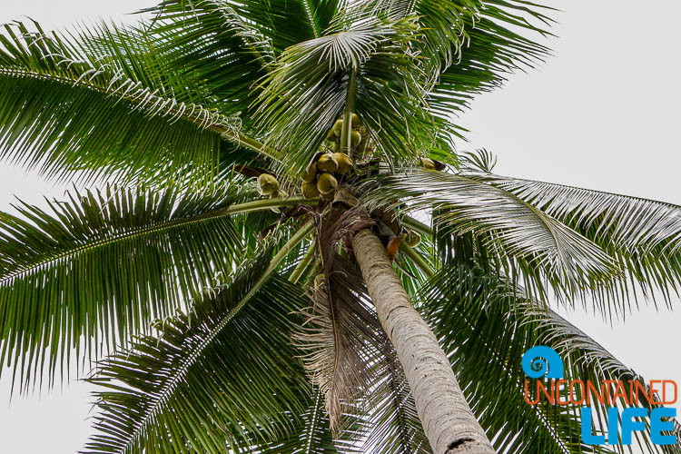 Coconut Tree, Mangrove Resort in Langogan, Palawan, Philippines, Uncontained Life
