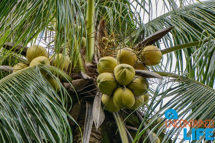Coconuts, Mangrove Resort in Langogan, Palawan, Philippines, Uncontained Life