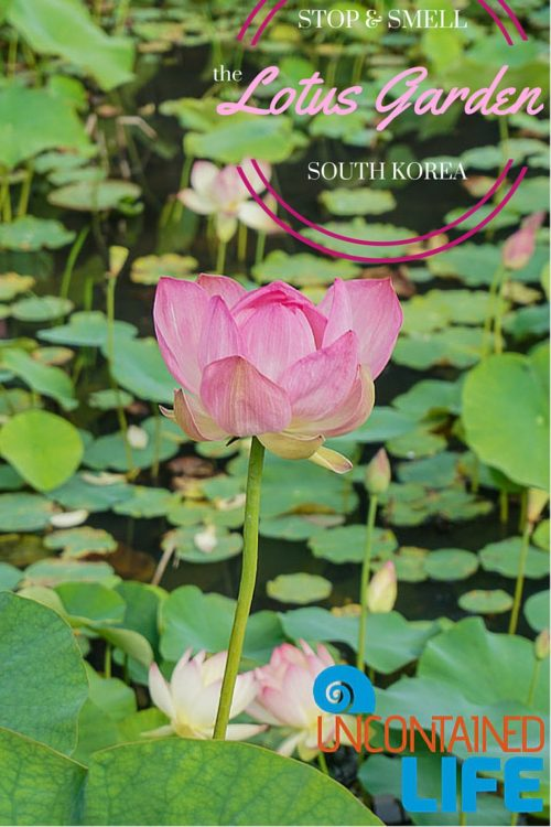 Lotus Garden, Jincheon, South Korea, Uncontained Life