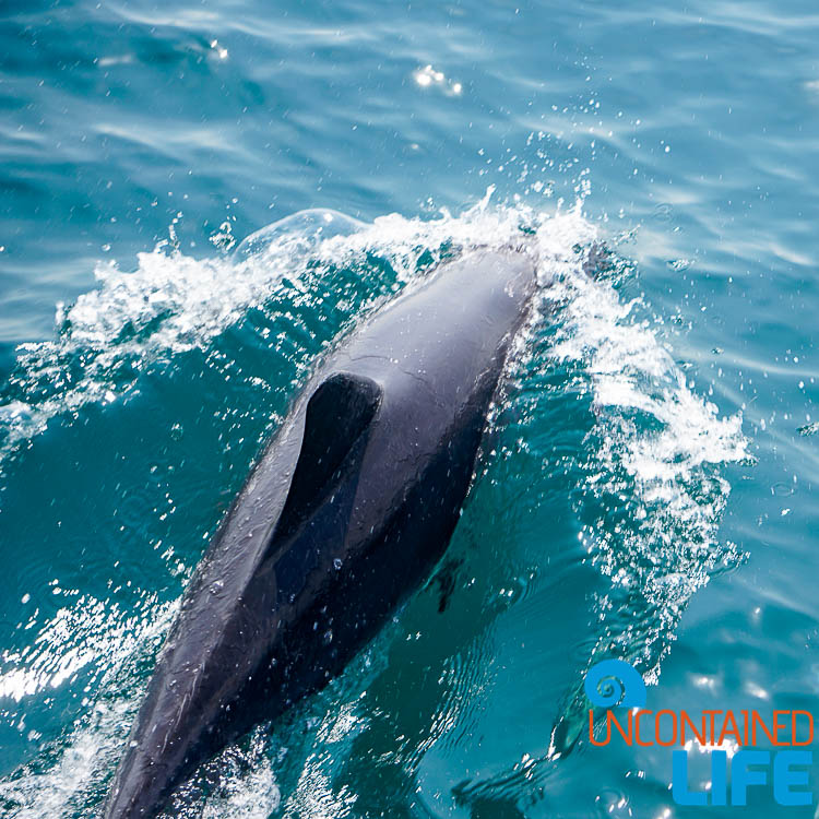 Dolphin, Blue World Safari, Phi Phi Islands, Phuket, Thailand, Uncontained Life
