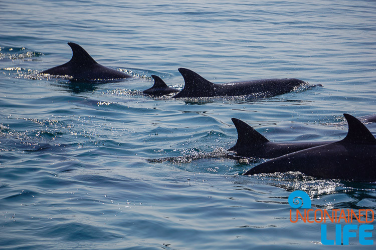 Dolphins, Blue World Safari, Phi Phi Islands, Phuket, Thailand, Uncontained Life
