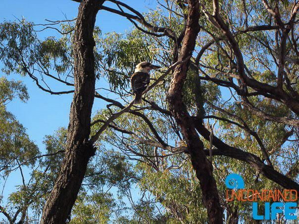 Kookabura, Queensland Australia