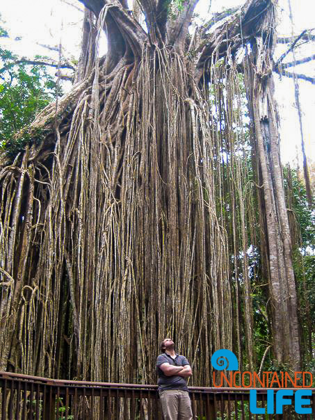 Curtain Fig Tree, Queensland Australia
