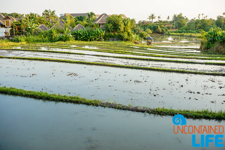 Rice Field, Explore Canggu, Bali