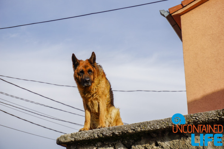 German Shepherd, Dog, Bear, See and do in Podgorica, Montenegro, Uncontained Life
