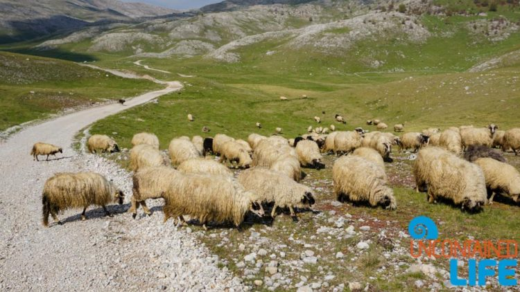 Sheep, Visit Lukomir, Bosnia & Herzegovina, Uncontained Life