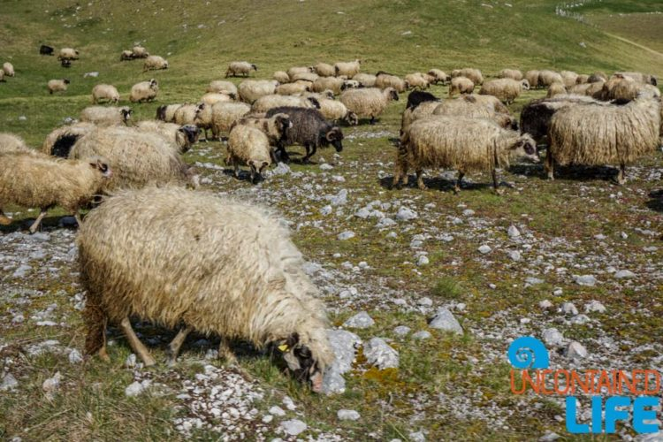 Sheep, Visit Lukomir, Bosnia and Herzegovina, Uncontained Life