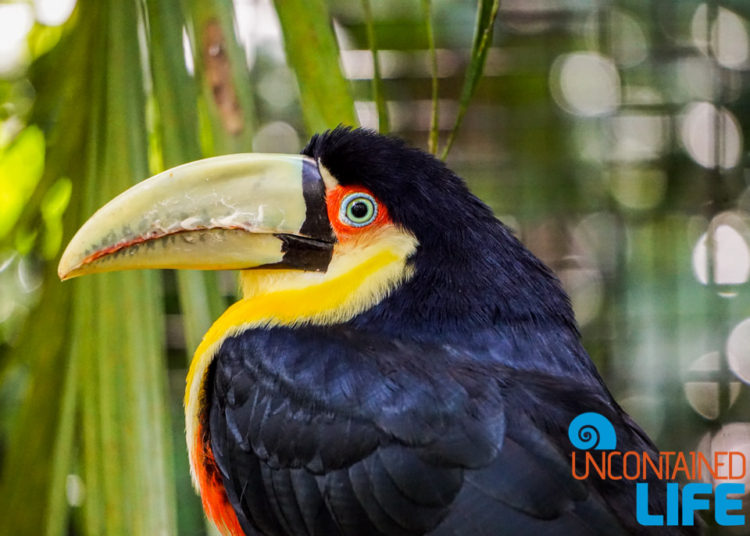 Toucan, Tropical Bird, Iguazu Falls, Brazil, Uncontained Life