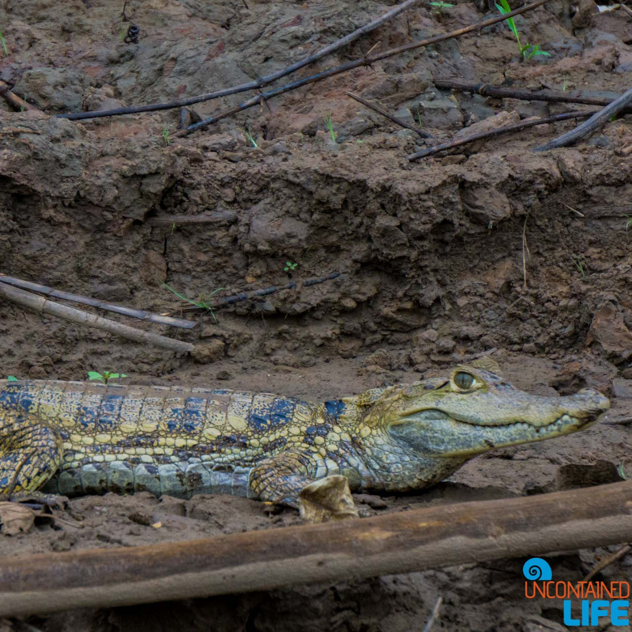 Cayman, Wildlife, Visit to the Peruvian Amazon, Puerto Maldonado, Peru, Uncontained Life