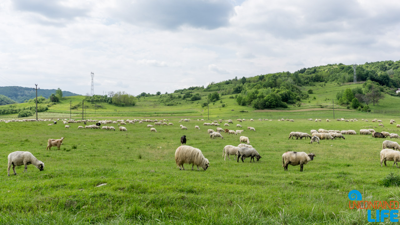Sheep, Road Trip through Transylvania, Romania, Uncontained Life